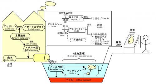 水俣病図解資料。メチル水銀がアセトアルデヒド工程から発生し人体に至る経路。