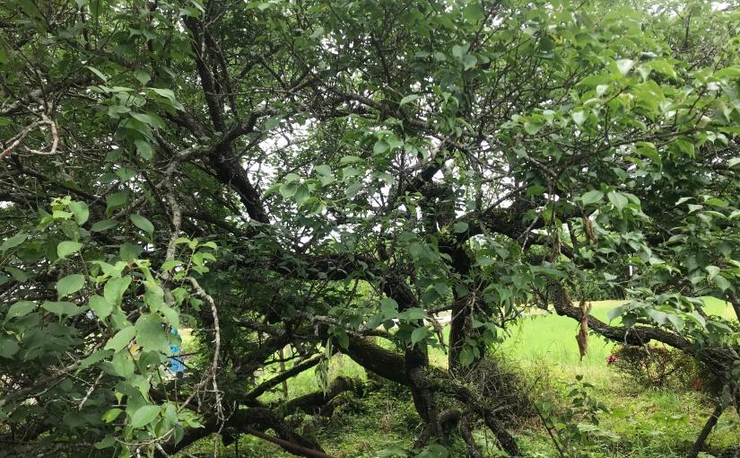 樹木医推定300年の古木(らしい)